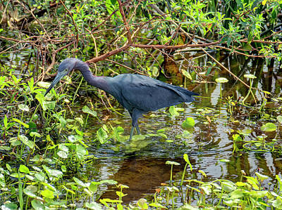 License Plate Skylines And Skyscrapers Rights Managed Images - Foraging Little Blue Heron Royalty-Free Image by Jill Nightingale