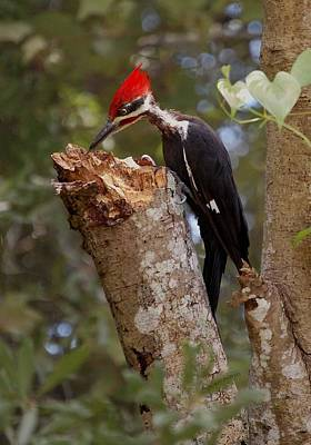Revising Digital Art - Foraging Pileated Woodpecker by DigiArt Diaries by Vicky B Fuller