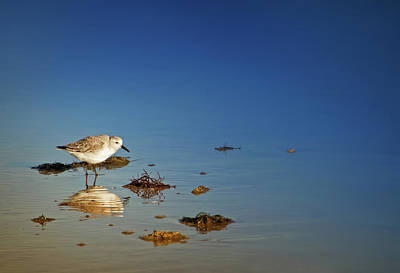 Photograph - Foraging Sandpiper by Carolyn Derstine