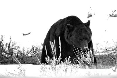 Photograph - Foraging Through The Northern Range Snow Black And White by Adam Jewell