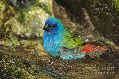 Photograph - Forbes Parrot Finch Bath by Olga Hamilton
