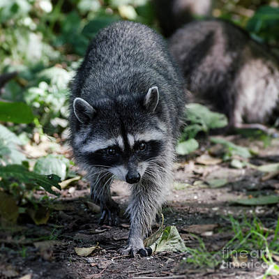 Photograph - Forest Bandit by Dee Cresswell