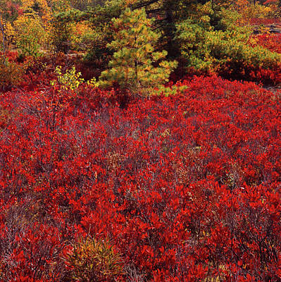 Photograph - Forest Edge Fall Blueberry by Tom Daniel