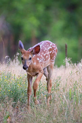 Photograph - Forest Fawn by John De Bord