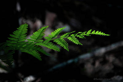 Photograph - Forest Fern by Henri Irizarri