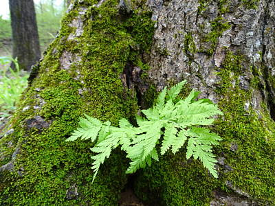 Photograph - Forest Fern by Mary Halpin