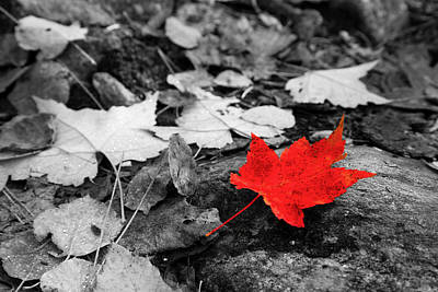 Photograph - Forest Floor Maple Leaf by Adam Pender