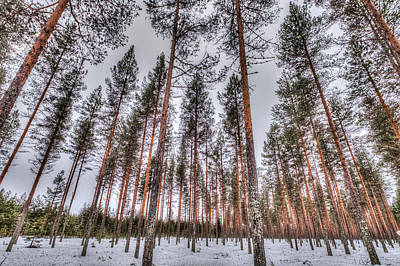 Photograph - Forest In Finland by Roberta Kayne