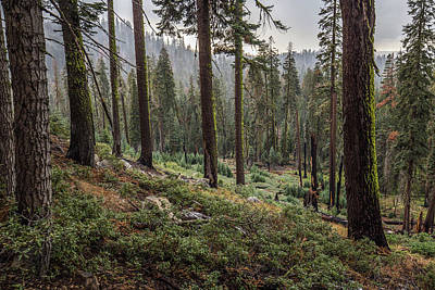 Photograph - Forest In Yosemite by Davorin Mance