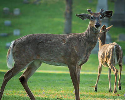 Photograph - Forest Lawn Spring Buck by Chris Bordeleau