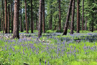 Photograph - Forest Floor With Lupine by Carol Groenen
