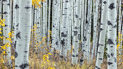 Photograph - Forest Of Aspen by Pierre Leclerc Photography