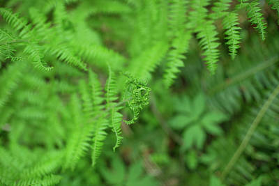 Photograph - Forest Park Ferns by Kunal Mehra