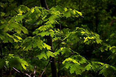 Photograph - Forest Shades by Randy Oberg