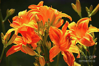 Daylily In Nature Photograph - Forever by Deb Halloran