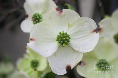 Photograph - Forever Dogwood  by John S