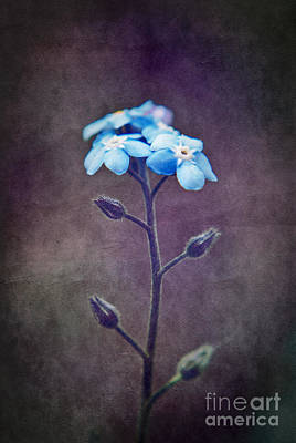 Aimelle Photograph - Forget Me Not 04 - S6ct7b by Variance Collections