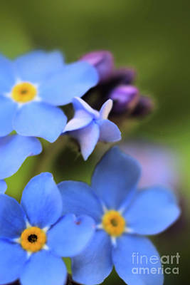 Photograph - Forget-me-not 2 by Victor K