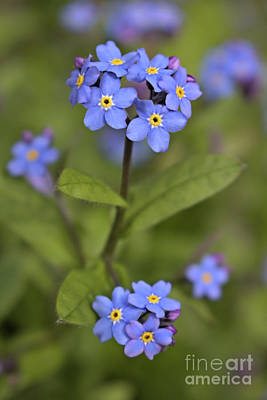 Photograph - Forget-me-not 3 by Victor K