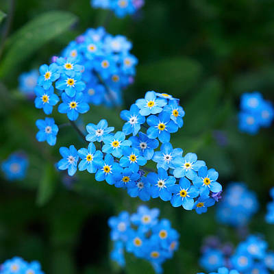 Forget -me-not 5 Art Print by Jouko Lehto