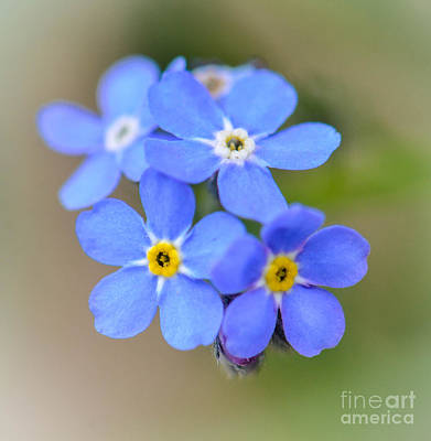 Photograph - Forget Me Not by Amy Porter
