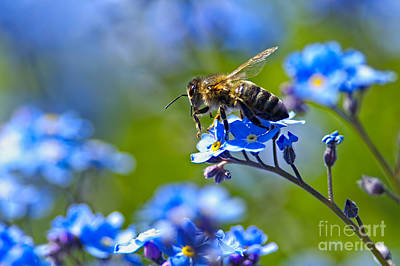 Photograph - Forget Me Not Bee 2 by Sharon Talson