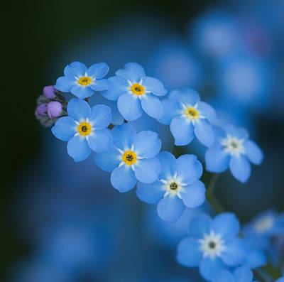 Photograph - Forget Me Not Blues by Angie Vogel