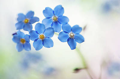 Photograph - Forget-me-not Flowers by Jenny Rainbow