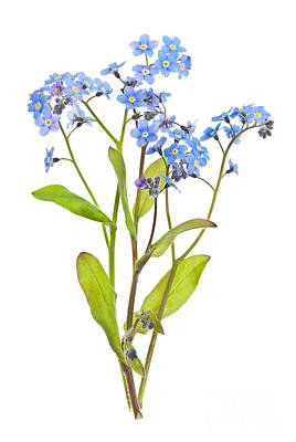 Florals Photos - Forget-me-not flowers on white by Elena Elisseeva