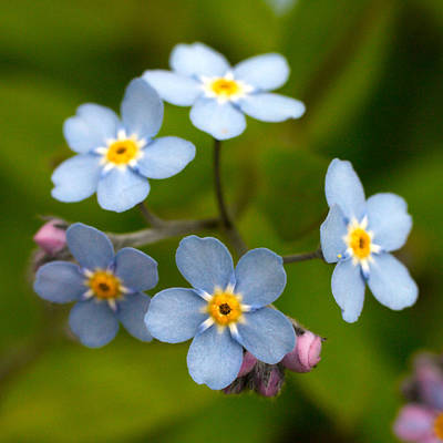 Forget-me-not Art Print by Jouko Lehto