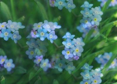 Photograph - Forget Me Not by Marija Djedovic