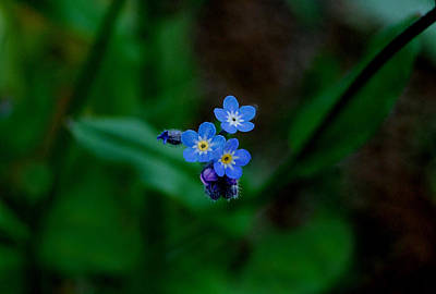 Forget Me Not  Art Print by Marilynne Bull