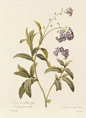 Violet Drawing - Forget Me Not by Pierre Joseph Redoute