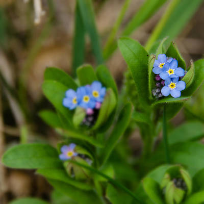Photograph - Forget Me Not Softly by Stephanie Maatta Smith