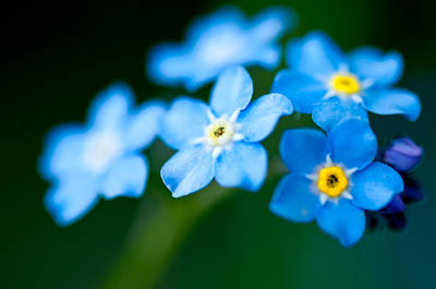 Photograph - Forget Me Not  by Venura Herath