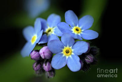 Photograph - Forget-me-not by Victor K