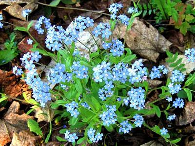 Photograph - Forget-me-not by Will Borden