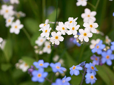 Jouko Lehto Royalty-Free and Rights-Managed Images - Forget me nots in white and blue by Jouko Lehto