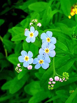 Photograph - Forget Me Nots by Michael Graham