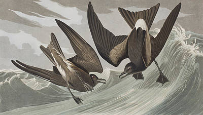 Spray Painting - Fork-tail Petrel by John James Audubon