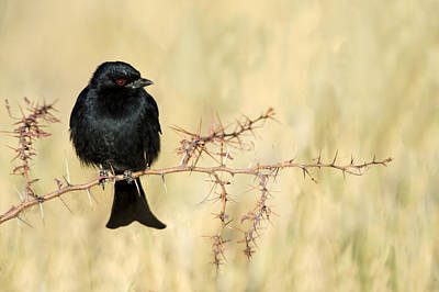 Focus On Foreground Photograph - Fork-tailed Drongo Dicrurus Adsimilis by Panoramic Images