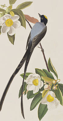Claw Painting - Fork-tailed Flycatcher  by John James Audubon
