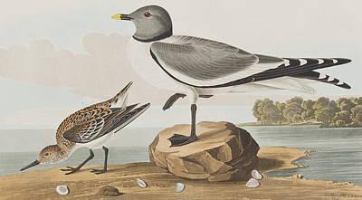 Fork-tailed Gull Art Print by John James Audubon