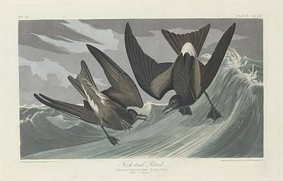 Seagull Drawing - Fork-tailed Petrel by Dreyer Wildlife Print Collections