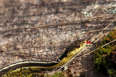 Photograph - Forked Tongue by Debbie Oppermann