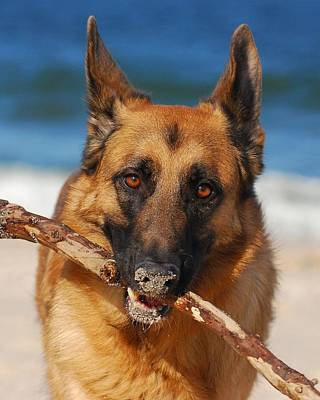 Photograph - Forrest Fetching - German Shepherd Dog by Angie Tirado