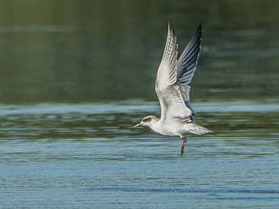 Photograph - Forster's Tern 092017-5021-1cr by Tam Ryan