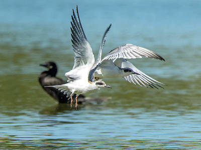 Photograph - Forster's Tern 5497-092117-2 by Tam Ryan