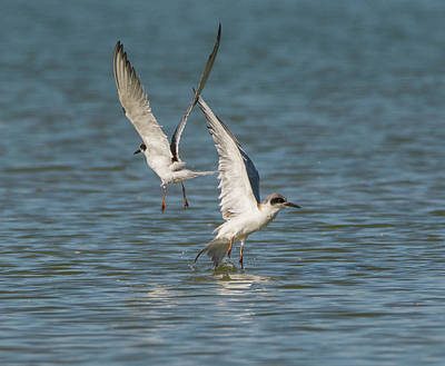 Photograph - Forster's Tern 5692-02217-1cr by Tam Ryan