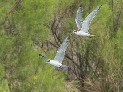 Photograph - Forster's Tern 5706-092217-1cr by Tam Ryan